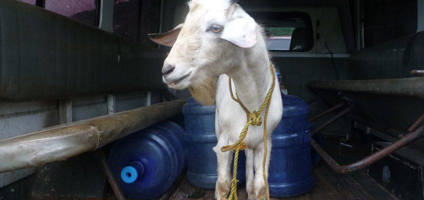 Von der Ziege zu Kilawin