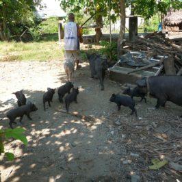 PHILIPPINEN BLOG - Schweinezucht und Schweinemast im Hinterhof Foto: Sir Dieter Sokoll KR
