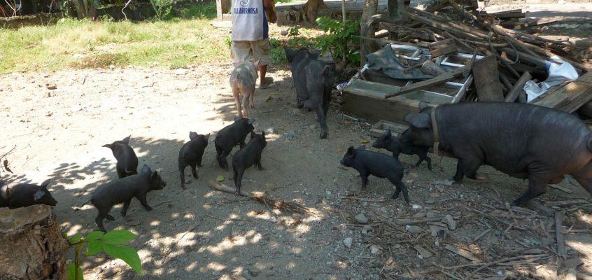 Schweinezucht im Hinterhof