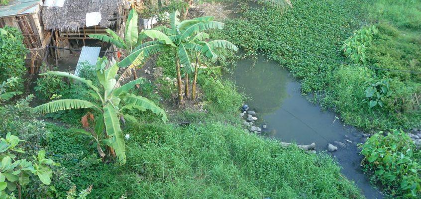 Kangkong – Wasserspinat Felder