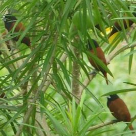 PHILIPPINEN REISEN BLOG - Die Maya Vögel von Mindanao Foto: Sir Dieter Sokoll KR