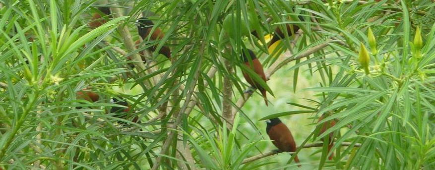 Die Maya Vögel von Mindanao