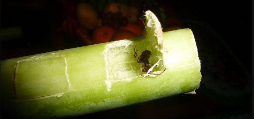 PHILIPPINEN REISEN BLOG -Es ist wieder Spinnenzeit Foto: Sir Dieter Sokoll KR