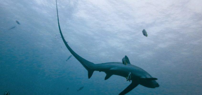 Tauchen mit den Fuchshaien auf Malapascua