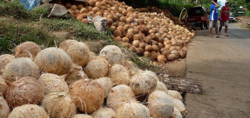 Die Kokosbauern machen Kopra