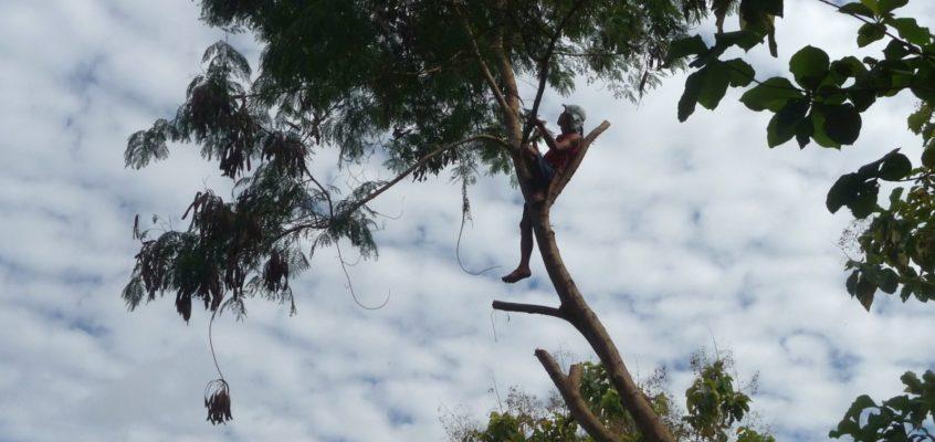 Baumfällen auf philippinsche Art