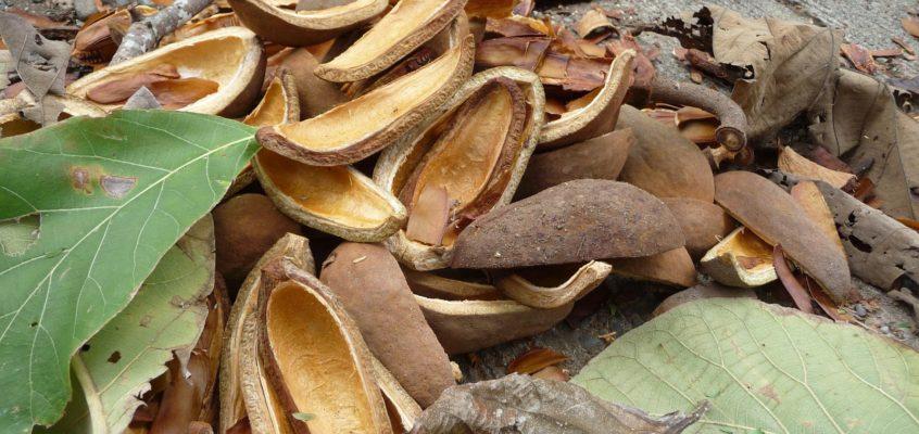Mahagoni Bäume – Früchte und Samen
