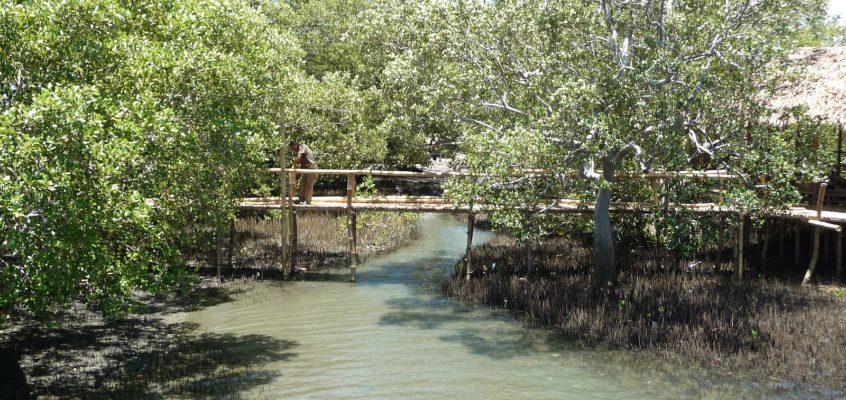 Im Mangroven Eco Park von Alubijid