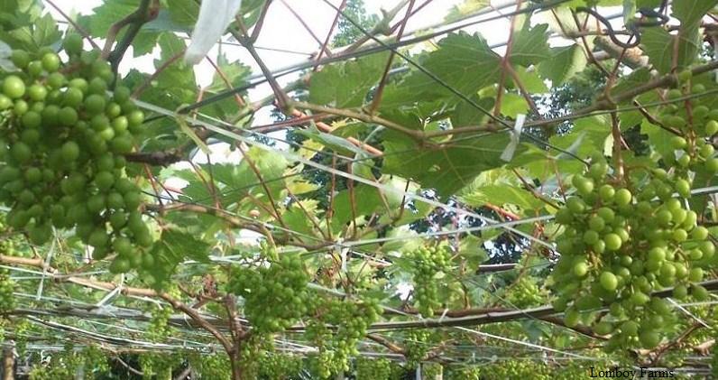 Weintrauben – eine wachsende Industrie in den Philippinen