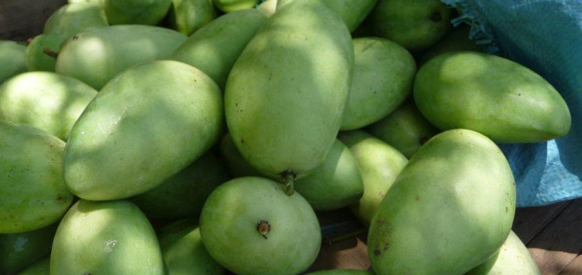 Mango – von der Blüte bis zur Ernte