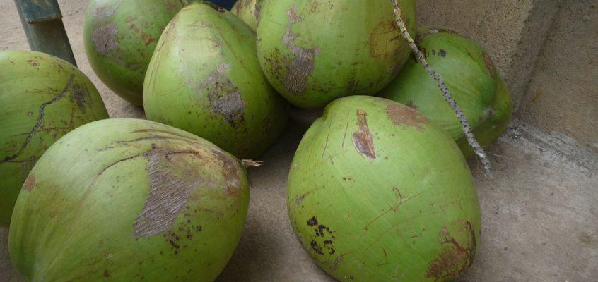 Labog Butong mit Kokosnüssen