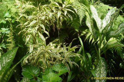 PHILIPPINEN BLOG - Unser tropischer Blumendschungel Foto: Sir Dieter Sokoll KR