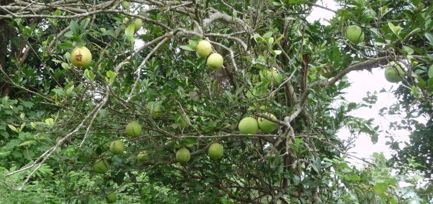 Pomelos am Baum