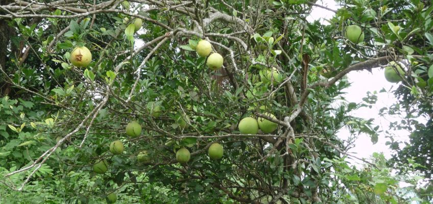 PHILIPPINEN REISEN BLOG - Pomelos am Baum Fotop: Sir Dieter Sokoll KR