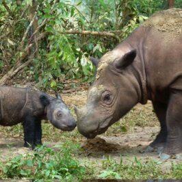 PHILIPPINEN BLOG - Prähistorische Tiere der Philippinen - Nashorn