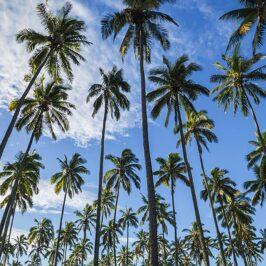 PHILIPPINEN BLOG - Der Manananggut oder Kokospalmen-Pilo