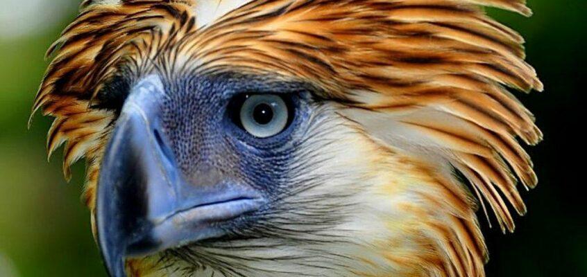 Philippinischer Nationalvogel – Der philippinische Adler