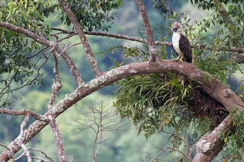 PHILIPPINEN BLOG - Philippinischer Nationalvogel - Der philippinische Adler