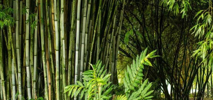 Bald ein schwarzer Bambustunnel in Tuburan