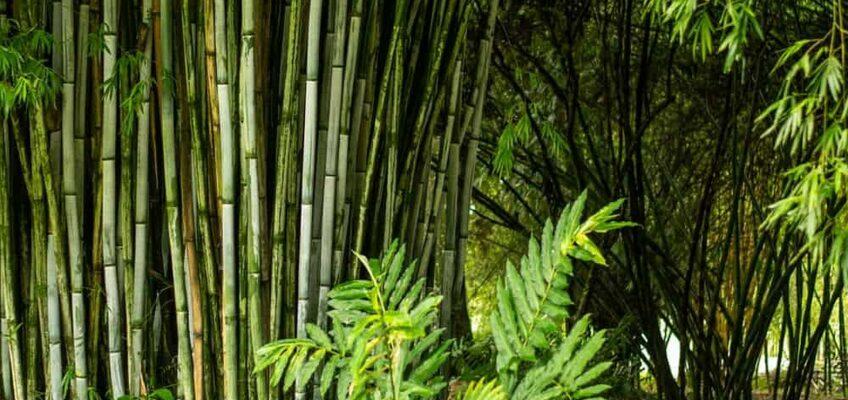 PHILIPPINEN MAGAZIN -BLOG - Bald ein schwarzer Bambustunnel in Tuburan
